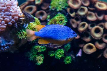 Fish Antias lyretail Pseudanthias squamipinnis