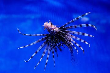Fish Lionfish - Zebra, Pterois volitans