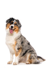 Australian shepherd dog sitting on white background and looking to the camera