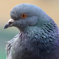 Fototapete - Garden Pigeon