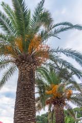 Date palms with ripe orange fruits