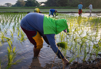 Philippines farmers planting rice