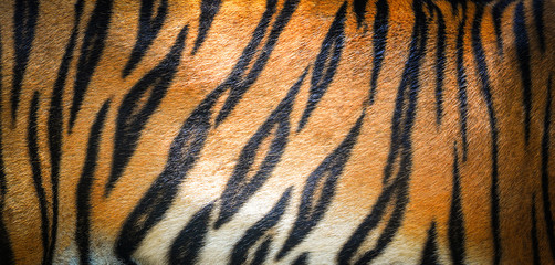 Poster de jardin Tigre Tiger pattern background / real texture tiger black orange stripe pattern bengal tiger