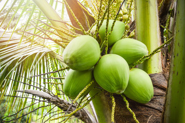 Young coconut tree / fresh green coconut palm tree tropical fruit on plant in the garden fruit