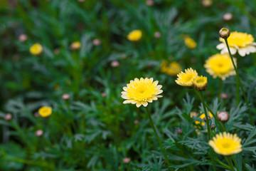 Blooming chrysanthemum Argyranthrmum frutescens