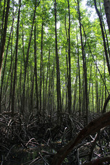 Mangrove Tree Forrest. Location is Tung Prong Thong Nature Reserve, Thailand.