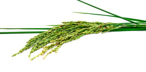 fresh rice plant isolated on white background