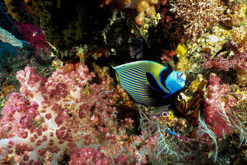 Emperor Angelfish and soft coral