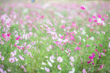 The background of colorful flower fields, cosmos flowers, is a natural beauty. Seen in tourist attractions or in parks