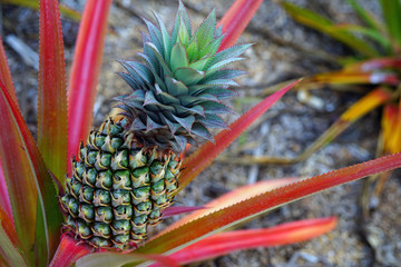 Pineapple (Ananas Comosus) growing on a tropical bromeliad plant with pink leaves in Moorea, French Polynesia