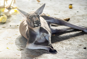 male kangaroo is resting in the farm