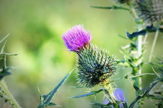 Cirsium vulgare, Spear thistle, Bull thistle, Common thistle, short lived thistle plant with spine tipped winged stems and leaves, pink purple flower heads