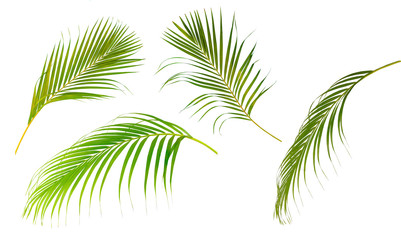 Collection set of palm leaf tree  isolated on white background..