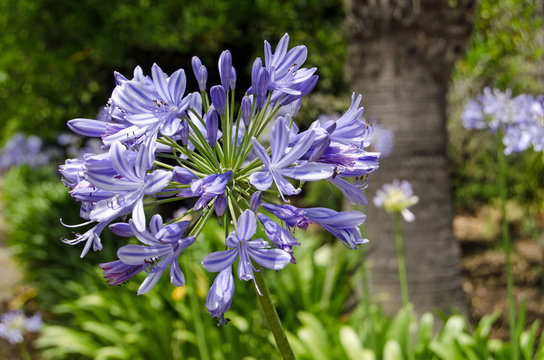 Agapanthus in bloom