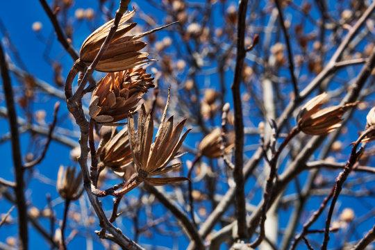 Tulip tree or liriodendron tulipifera