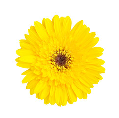Colorful top view beautiful yellow gerbera or barberton daisy flower blooming with water drops isolated on white background and clipping path