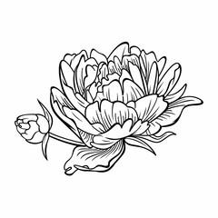 Peony flower vector image.