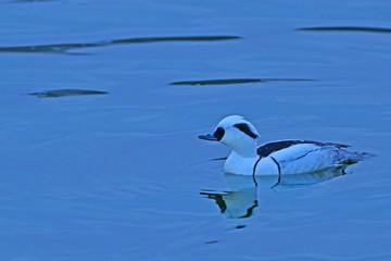 早朝の水面をのんびりと泳ぐミコアイサオス