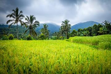 Paddy field rice terraces, Munduk, Bali, Indonesia