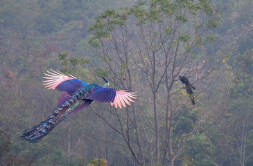 The male peafowl is flying to a tree with another male peacock.