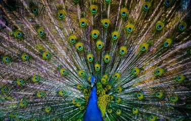 peacock with feathers