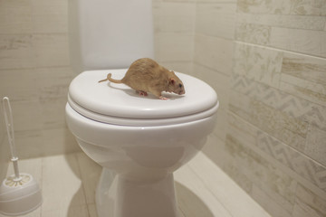 rat sitting on the lid of the toilet
