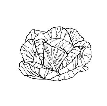 Hand drawn fresh lettuce cabbage salad. Outline, white background.