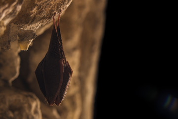 Close up small sleeping horseshoe bat covered by wings, hanging upside down on top of dark cold natural cave while hibernating. Creative wildlife photography illuminated artificial. Black background.
