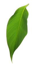 Wall Mural - Fresh tropical leaf on white background