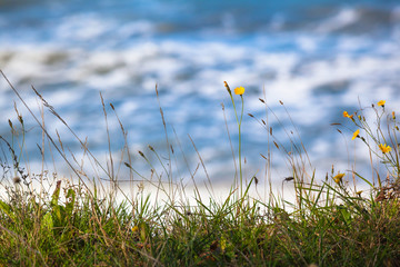 Grass Still Life Waterfront / Close up of meadow grass with small yellow blossoms at edge of seashore (copy space)