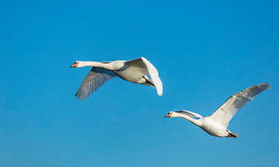 white swans flying