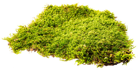 moss isolated on a white background close up