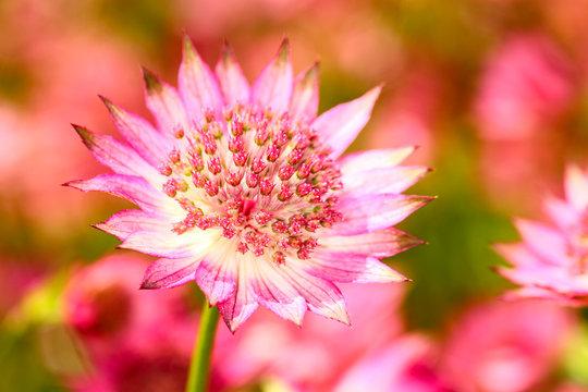 Close up of an astrantia flower
