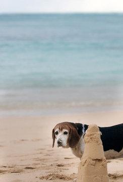 A beagle stands near a sandcastle on Lanikai Beach in Kailua, Hawaii.