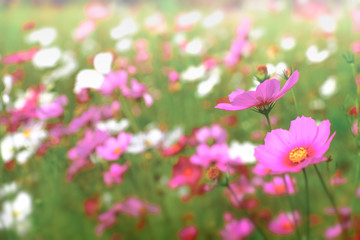 Pink cosmos flowers with in natural Cosmos field. Freshness and background concept.