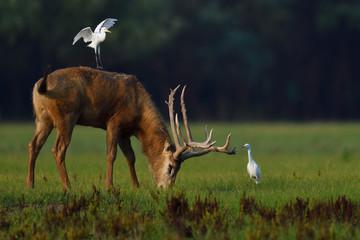 Père Davids deer or Milu with cattle egret