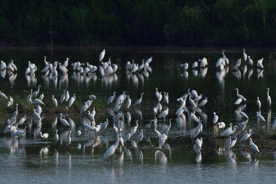 Egrets gathered at Yangtze river china