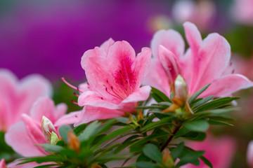 Aluminium Prints Azalea blur floral background lush fresh azalea flowers