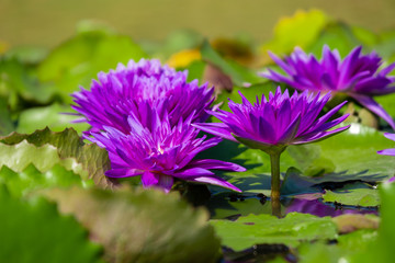 Beautiful of violet water lily or lotus with yellow pollen on surface of water in pond. Side view and peace concept.