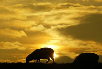 Sheeps graze on a dyke during sunset in Wilhelmshaven.