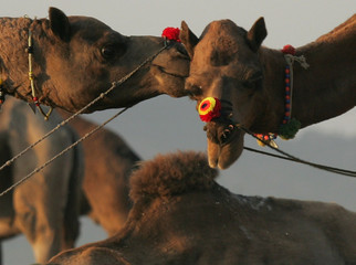 Two camels play in Pushkar.