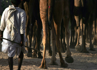 A camel herder leads his animals to do business one day before the start of the annual camel fair in ...