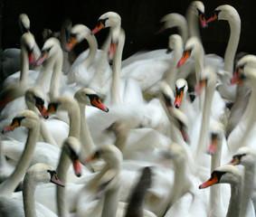 Swans swim in a small lock at Hamburg's inner city lake Alster.