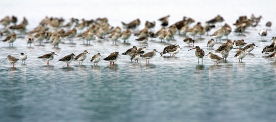 Migratory birds look for food on the shore near the Malaysian town of Kapar.