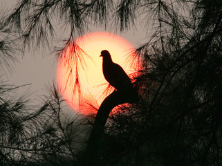 The sun sets as a pigeon sits on a branch in New Delhi.