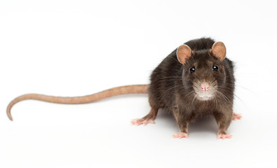 funny rat on a white background