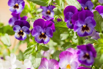 mooie viooltjes zomerbloemen in de tuin