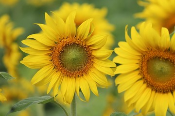 Sunflower, the flower is spherical and big, Thai people call TAN-TA-WAN.