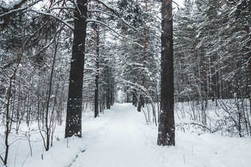 Beautiful winter in pine forest. Winter lanscape.