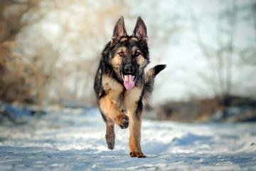 german shepherd dog puppy winter walk fun runs through the snow